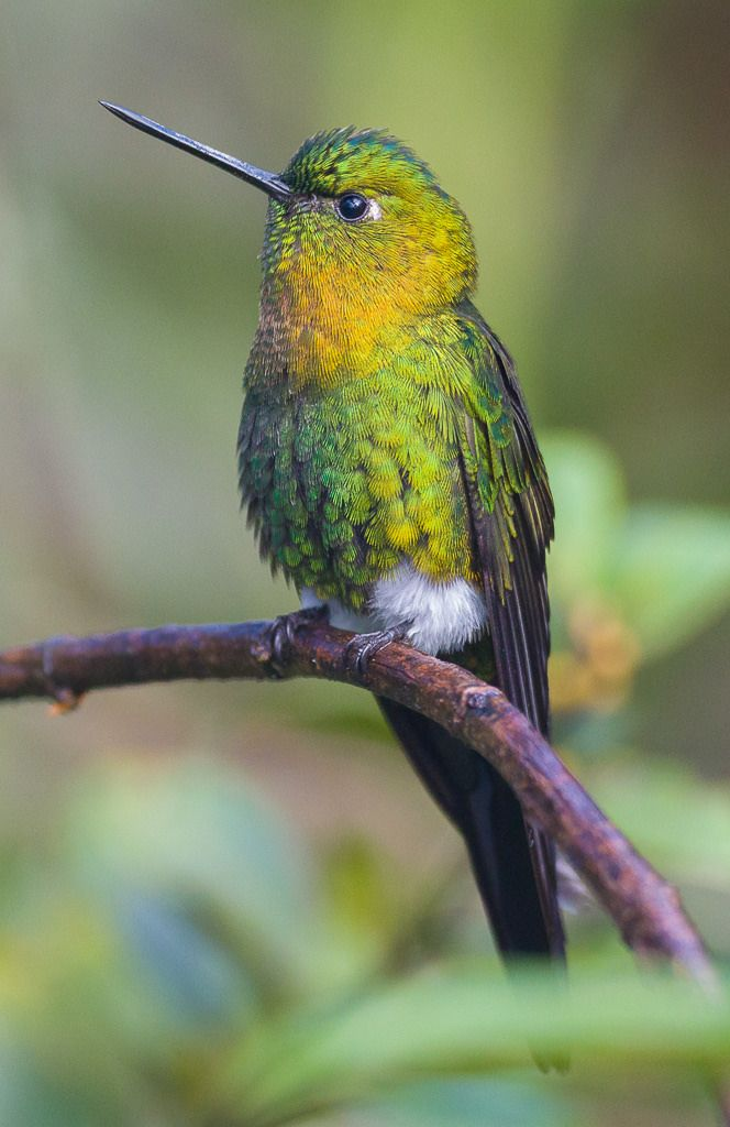 Golden-breasted Puffleg(Eriocnemis mosquera photographed by Libertus Polling at Nevado del Ruiz, Manizales, Colombia