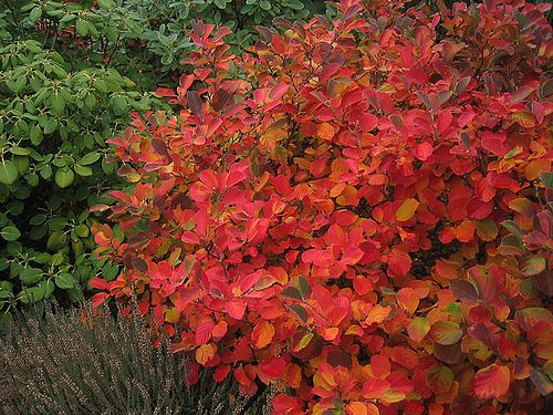 Fothergilla (Bottlebrush) - A great mid-sized shrub that has fragrant, bottle brush white flowers in spring, and in the fall turns every shade of orange, yellow and red!