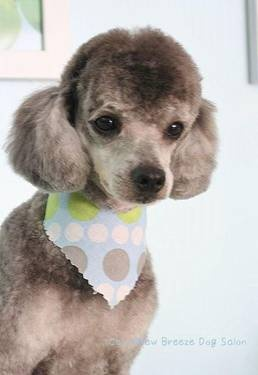 ... mix on Pinterest | Poodles, Labradoodle puppies and Toy poodles