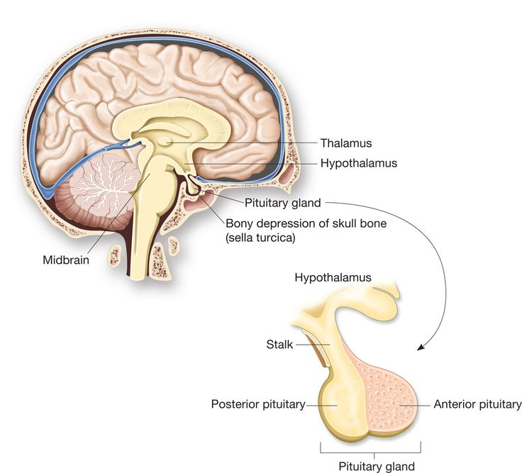 "At one time, the pituitary gland, also called the hypophysis, was thought to be the ""master gland"" that controlled all of the other endocrine glands. Now we know that the hypothalamus takes messages from the brain and tells the pituitary which hormones to excrete."