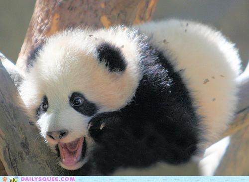 Baby PandaBaby Pandas, Pandy Bears, Pandas Cubs,  Pandas Bears, Beautiful Pandas, Giants Pandas,  Ailuropoda Melanoleuca, Baby Animal,  Coon Bears