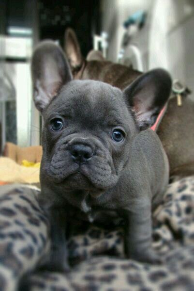17 best images about french bulldogs on pinterest french pets and love french. Black Bedroom Furniture Sets. Home Design Ideas