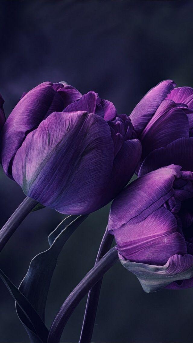 Purple Tulips Wallpaper Iphone Nature Iphone Wallpaper Purple Tulips Purple Flowers