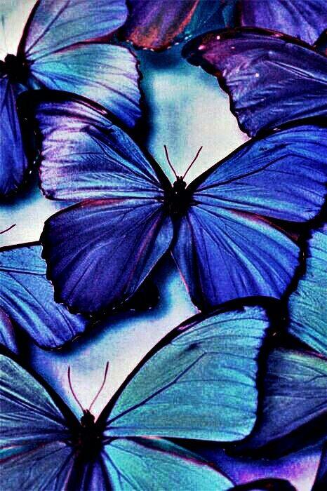 Morpheus butterfly