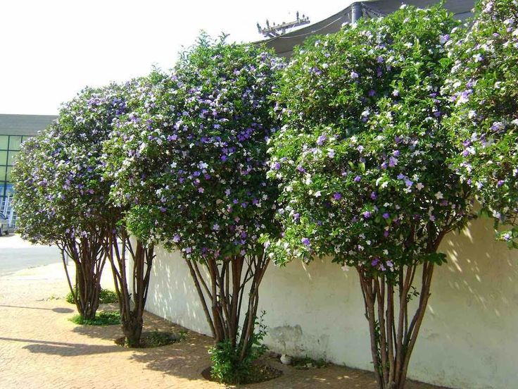 Manaca de Cheiro - Brunfelsia uniflora