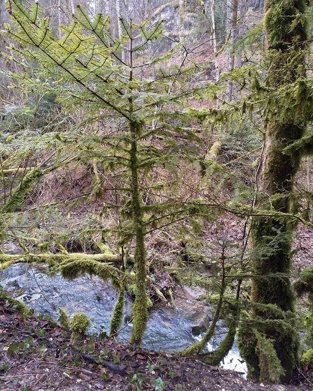Die Transformation ist noch nicht beendet. Von unten Moos oben noch Nadeln.  #Naturmomente #Schwarzbubenland #Solothurn #Nunningen #Schweiz  #photooftheday #magicplaces #kraftorte #switzerland #switzerlandpictures #magicswitzerland  #nature #naturelovers #forest #winter
