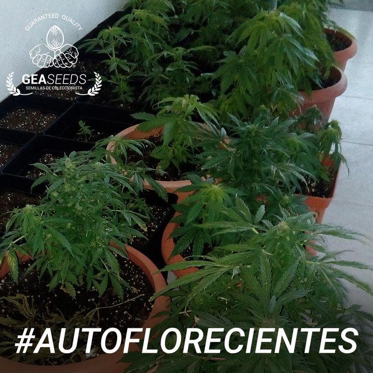 Autoflorecientes Gea Seeds