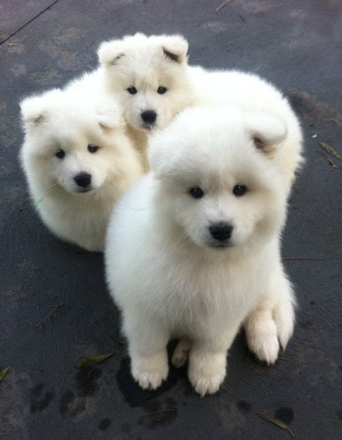 Samoyed puppies.                       (KO) Trouble x 3. But so sweet! Love this breed.