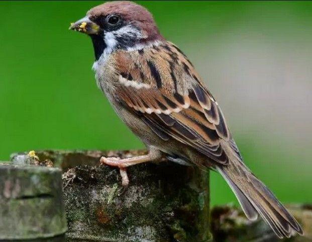 Termasuk Spesies Burung Yang Mudah Dikenali Lantaran Habitat Asli Si Burung Gereja Memang Berdampingan Dengan Manusia Bahkan Dapat Dika Gereja Burung Habitat