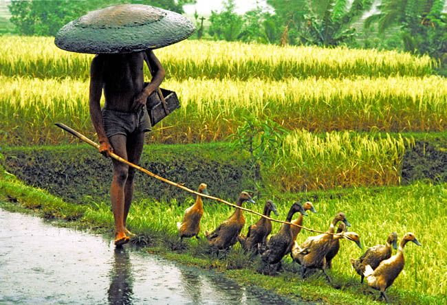 Indonesia. Bali. In late afternoon, under pouring rain, a man is herding his ducks home from a pond. victorenglebertphotography
