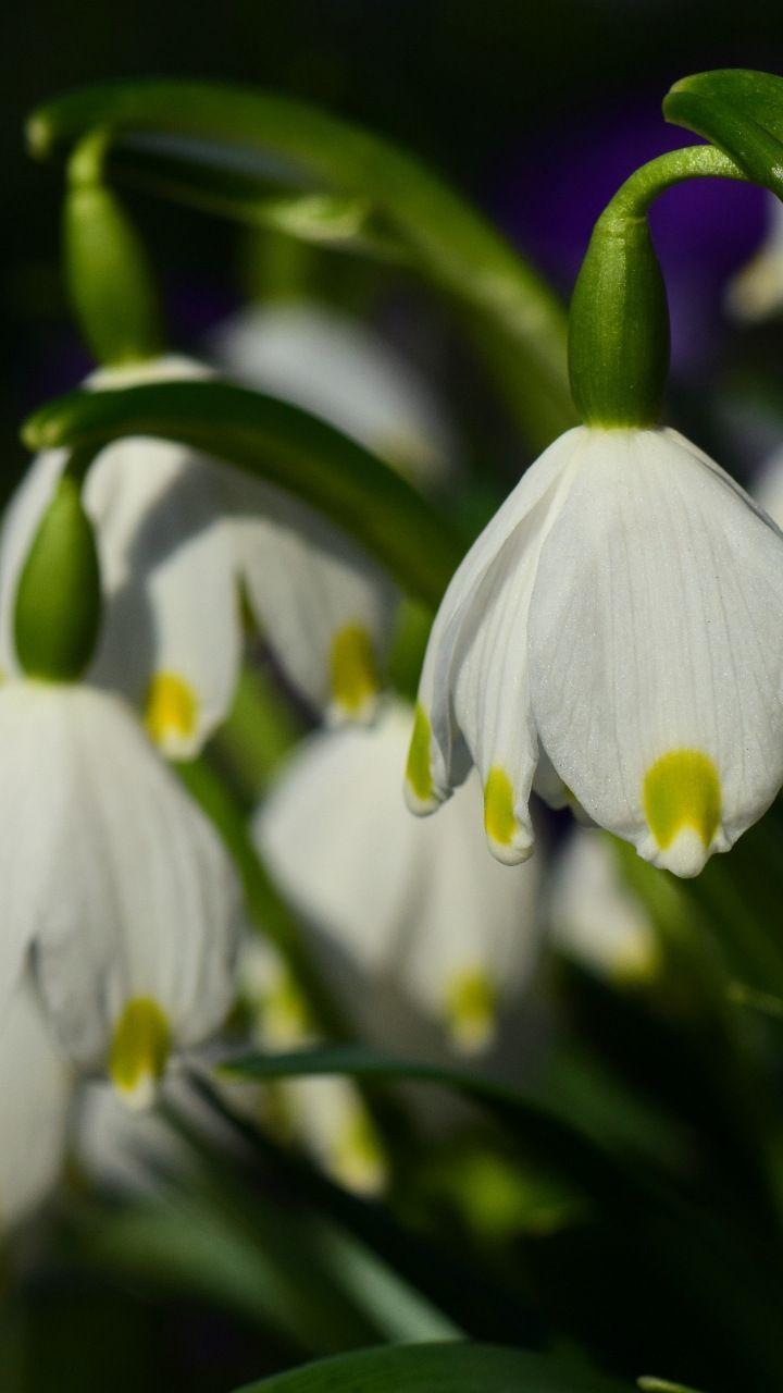 White Snowdrop Flower Bloom Close Up 720x1280 Wallpaper Flower Close Up Flowers Close Up
