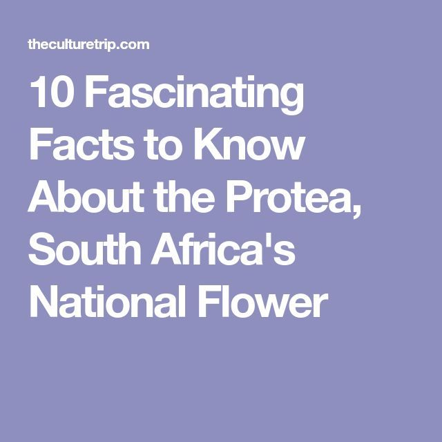 10 Fascinating Facts to Know About the Protea, South Africa's National Flower  South Africa  Access Our Blog find much more Information  http://storelatina.com/travelling   #africadelsur #Africadosul #SouthAfrica