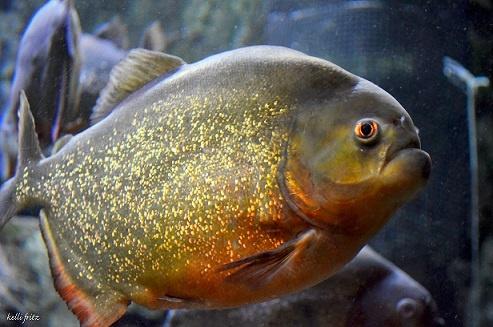 1000 images about piranhas on pinterest dubai fish for Piranha fish tank