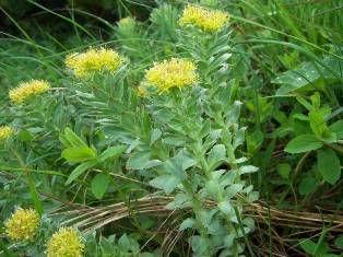 Лекарственные растения из нашего леса