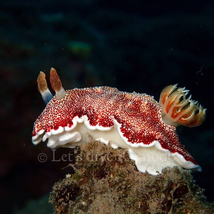 Nudibranch #indonesia #flores #komodo #labuanbajo #macro #colors #beauty #scuba #livetoscuba #scubadiving #macro_captures #lovemyjob #lovemylife #underwaterphotography #olympus #molostrait #travel #holiday #backpacker #explore #instapic #instadaily #instadive #exploreindonesia #nofilter