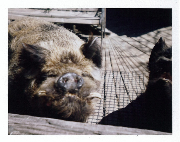 Kune Kune pigs: Christchurch, New Zealand