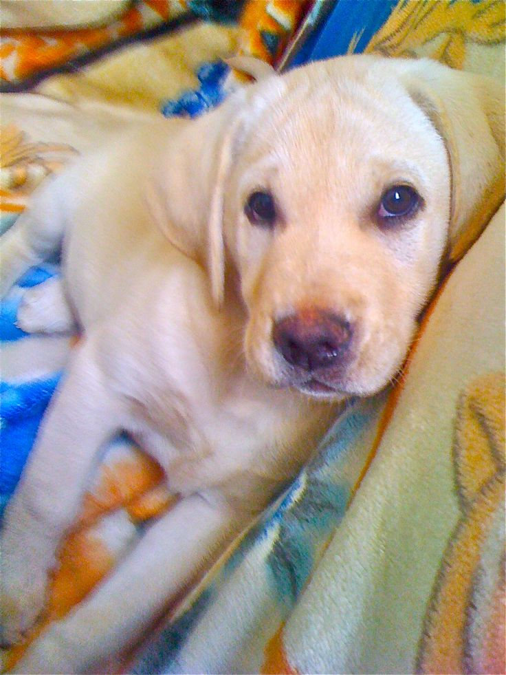 Yellow Lab puppy . Best dogs