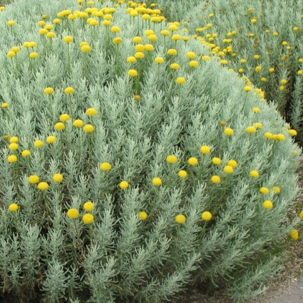 Best 25 arbuste d coratif ideas on pinterest plante jardin massif fleurs and plante haie - Arbuste fleurs blanches feuillage persistant ...