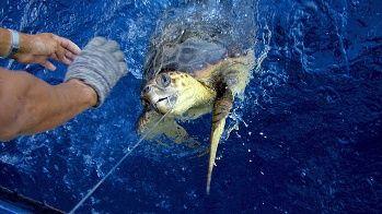 Meeresschildkröten geraten oft in Fischernetze und finden nicht mehr hinaus. Mit Fluchtöffnungen könnte dies vermeiden werden.  (Quelle: dpa)