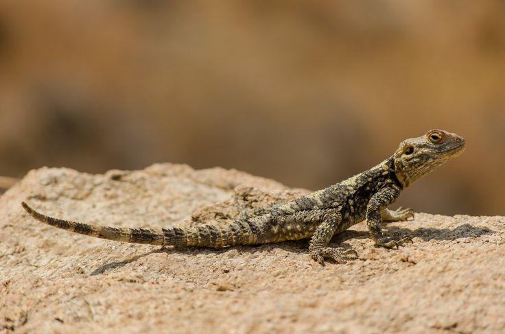 Agama Stellio, a rare type o lizard in Ikaria, Greece.