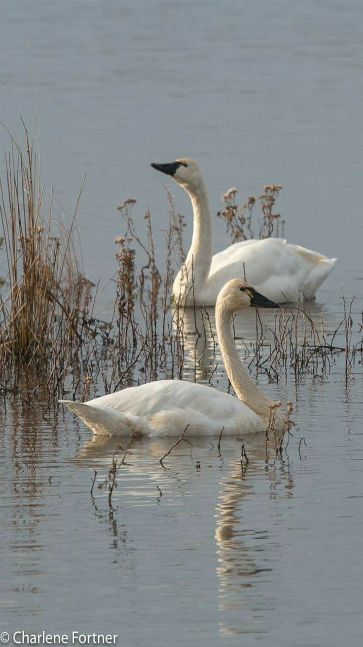 Tundra Swans - photo by Charlene Fortner