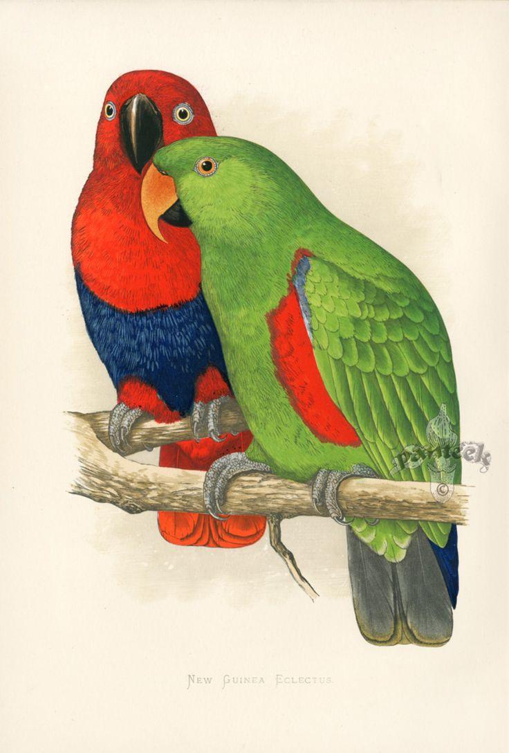 New Guinea Eclectus New Guinea GP5