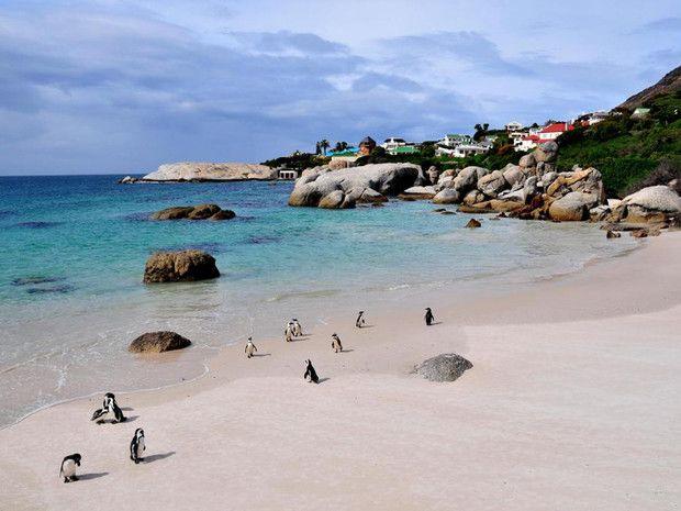 Manchots du Cap de Bonne-Espérance, Afrique du Sud sur la route du Cap de Bonne-Espérance, à la pointe sud-ouest du pays, une colonie de manchots peu farouches
