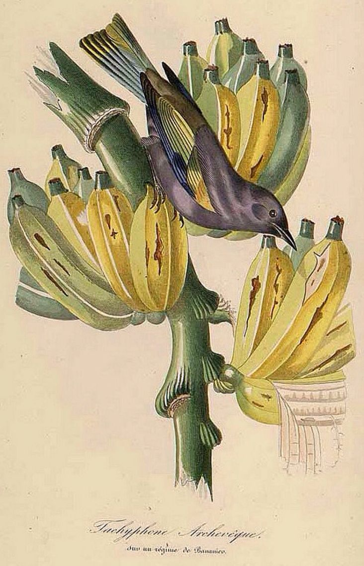 Banana, Musa paradisiaca, illustration by Jean Theodore Descourtilz, from Le Jardin des Plantes by Pierre Bernard and Louis Couailhac, 1842