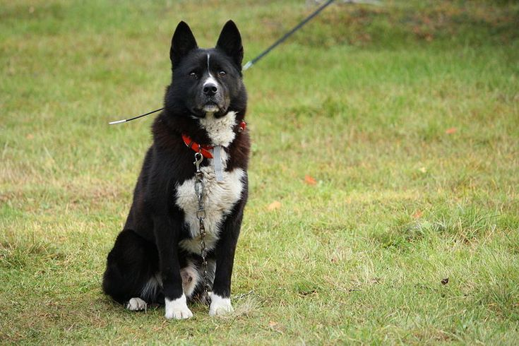 KARELIAN BEAR DOG/KARELIAN BEARHOUND
