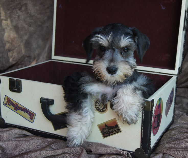 The 25 Best Standard Schnauzer For Sale Ideas On Schnauzer Puppy Standard Schnauzer For Sale Standard Schnauzer