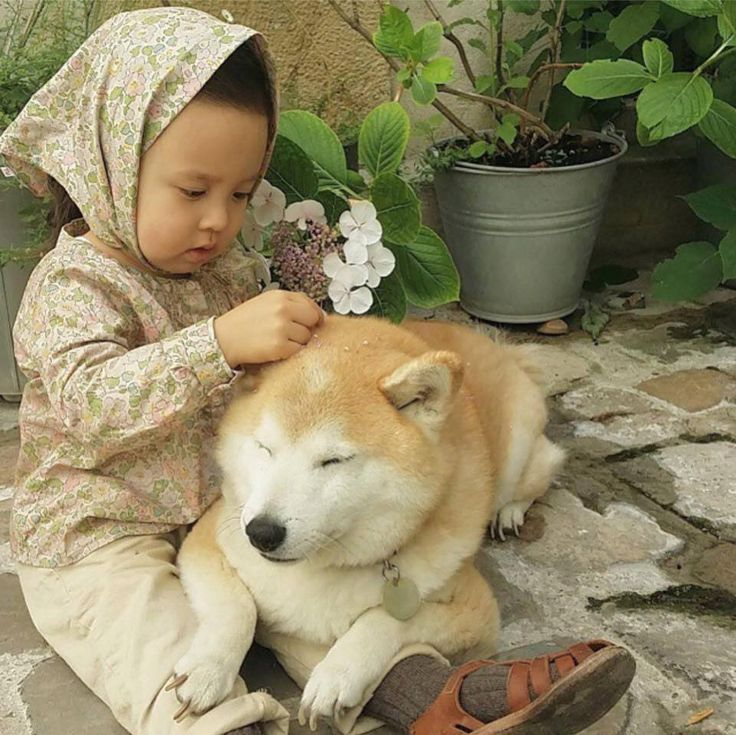 Little girl putting flowers on Akita's head, or perhaps Husky dog, so cute, the dog is being so patient.