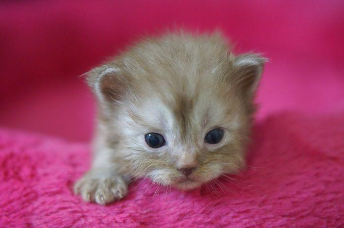 Usa Ragdolls Ragdoll Kitten Picture Gallery Baby Cats Cute Cats Photos Ragdoll Kitten