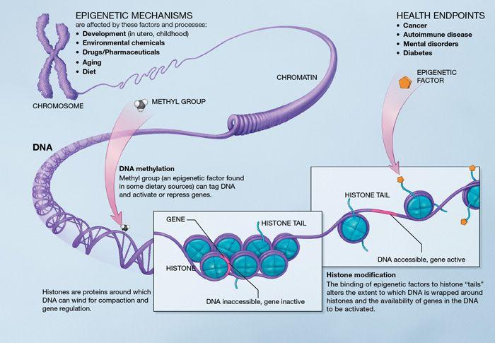 Epigenetik: Wie Nahrung unser Erbgut beeinflußt