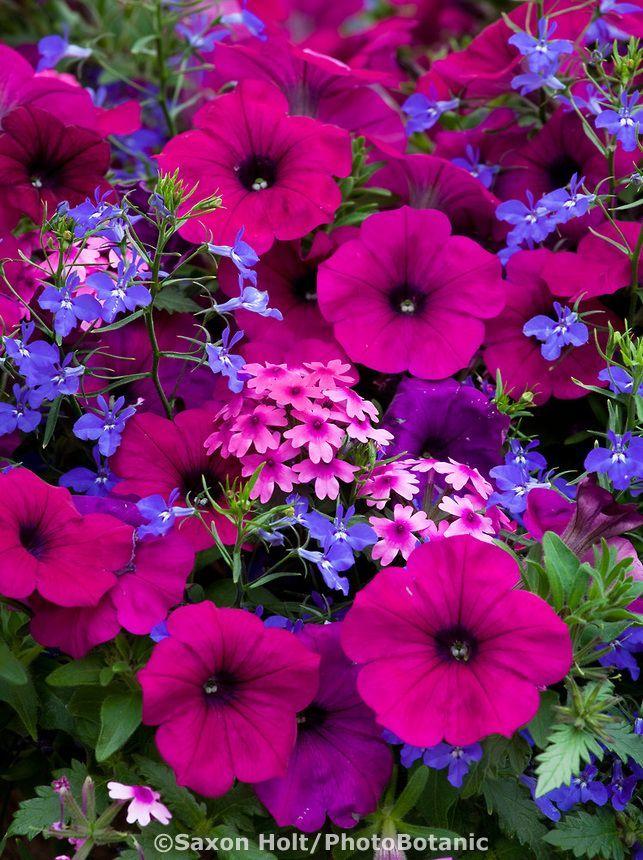 Night In Pompeii Flowering Container Mix With Petunia Diascia