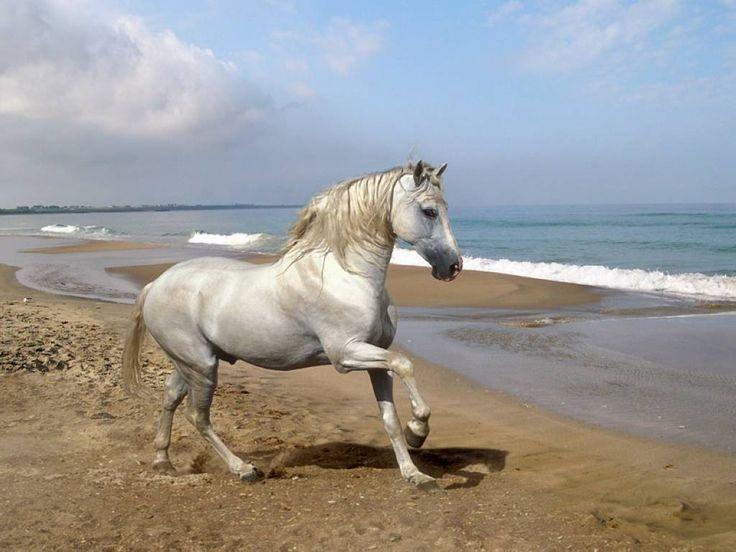cavallo andaluso in riva al mare