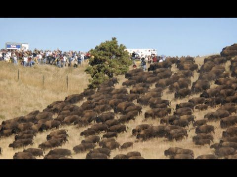 Standing Rock: Thousands of Wild Buffalo Appear Out of Nowhere - YouTube