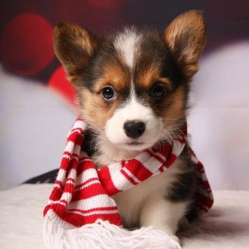 Corgi puppy!   ...........click here to find out more     http://googydog.com