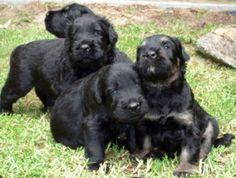 Donde Comprar un Schnauzer Gigante http://www.mascotadomestica.com/criaderos-de-perros/donde-comprar-un-schnauzer-gigante.html