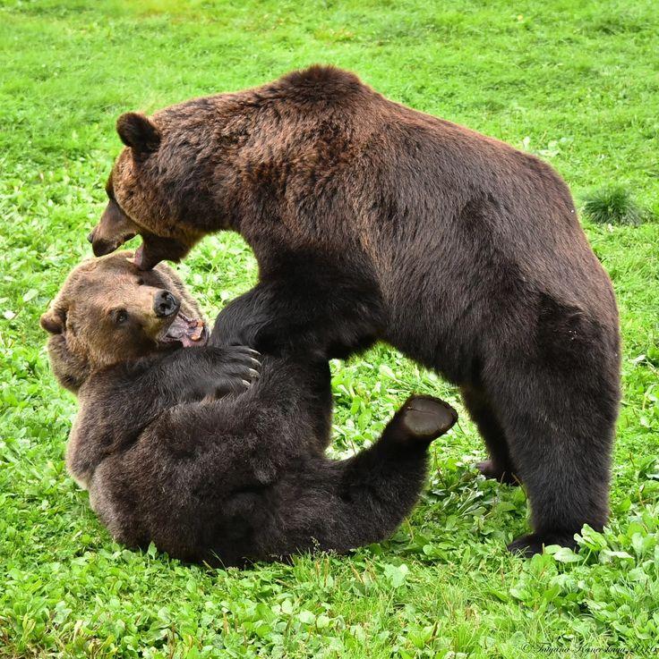 Foto: Поединок бурых медведей. Battle of brown bears. #Tatyana_Kanevskaya #bears #animals #медведи #животные © Tatyana Kanevskaya Brown bears in September 2016. Бурые медведи, сентябрь 2016.