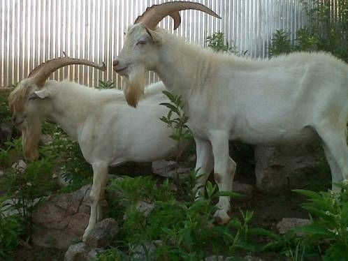 """Las cabras Saanen son las de mayor producción lechera, razón por la cual se le nombra """"la Holstein de la cabras». Se originó en Suiza, en los cantones del Oberland Bernes."""
