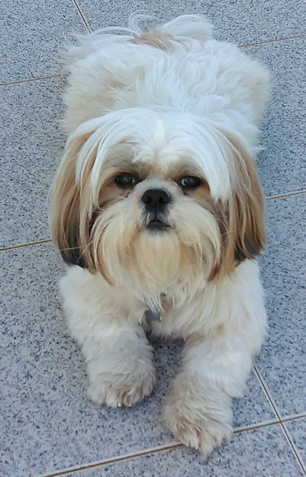 ha! This lil one is a perfect mixture of my Father/Son Shih Tzus, Bailey and Sonny