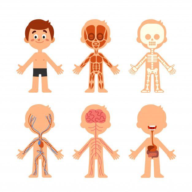Dibujos Animados Chico Cuerpo Anatomia Em 2020 Com Imagens