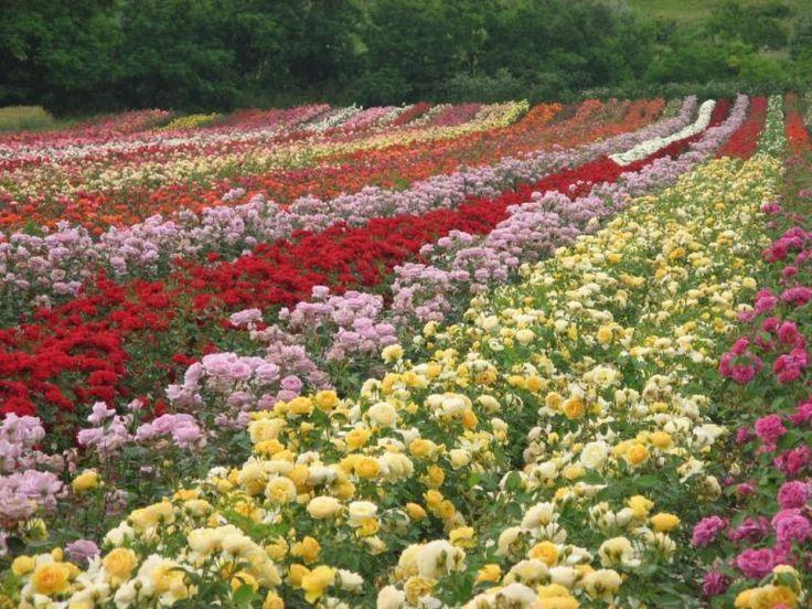 La data de 27 iunie, la Ciumbrud, lângă Aiud, are loc sărbătoarea trandafirilor. Evenimentul Ziua Rozelor se află deja la a XIV-a