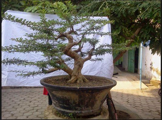 harga bonsai malaysia