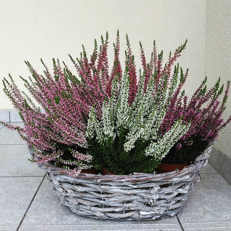 """Polubienia: 35, komentarze: 1 – Anna J. (@aannaajak) na Instagramie: """"#wrzosy #wrzosowelove #heather #autumn #nature #flowers #flowerstagram #flowerslovers #white #pink…"""""""