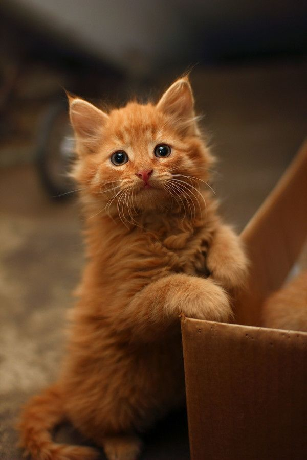Ginger Kitten I Want One Katzen Baby Katzen