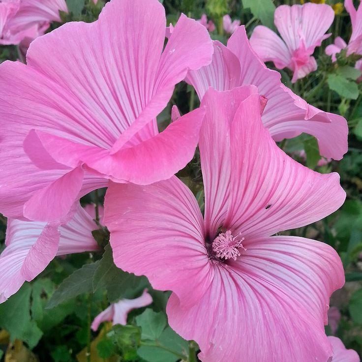 Bechermalven in Pink