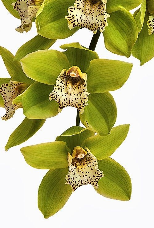 'Green Dragon' Cymbidium orchid for colour reference
