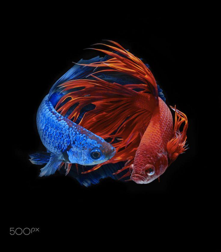 Betta fish by Kidsada Manchinda on 500px