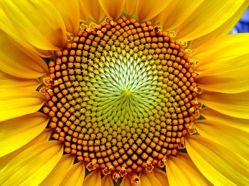 Fibonacci spiral at work in flower center, very beautiful example of the intersection between math and biology